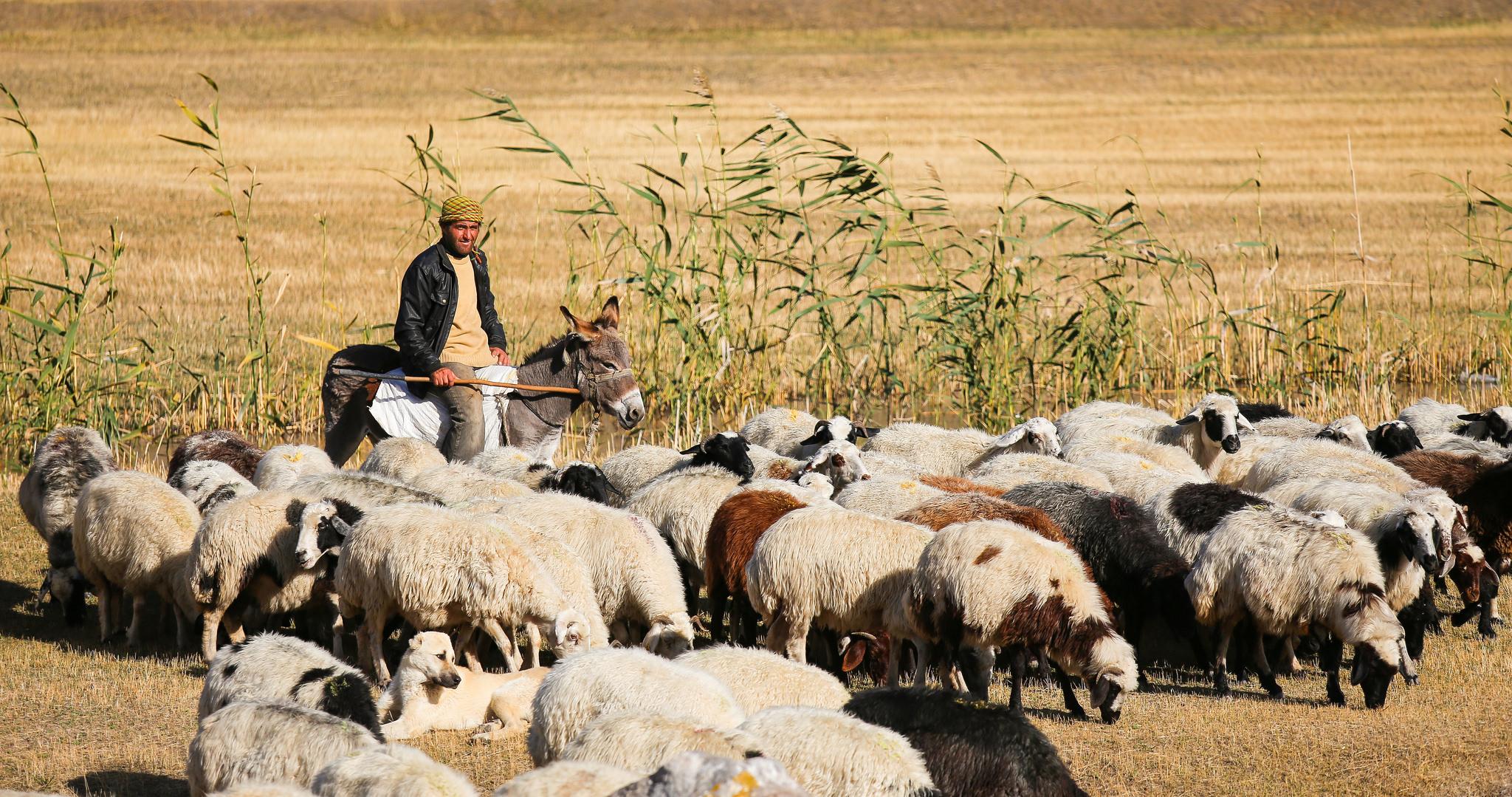 Sheep near Doğubayazıt, Ağrı Province, east Turkey