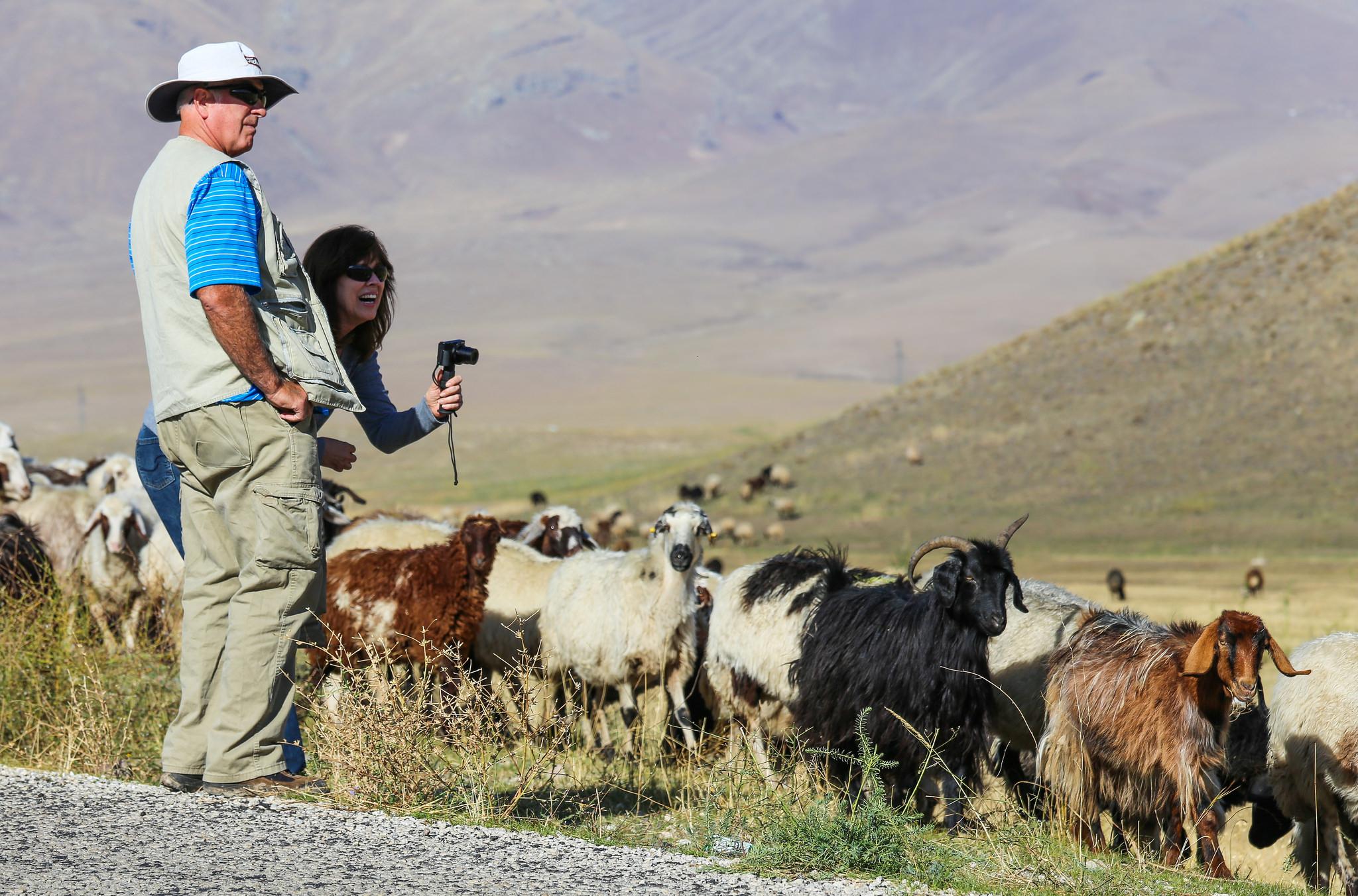 Tourists watching sheep near Doğubayazıt is a district of Ağrı Province, east Turkey. Nuh'un Gemisi. Noah's ark.